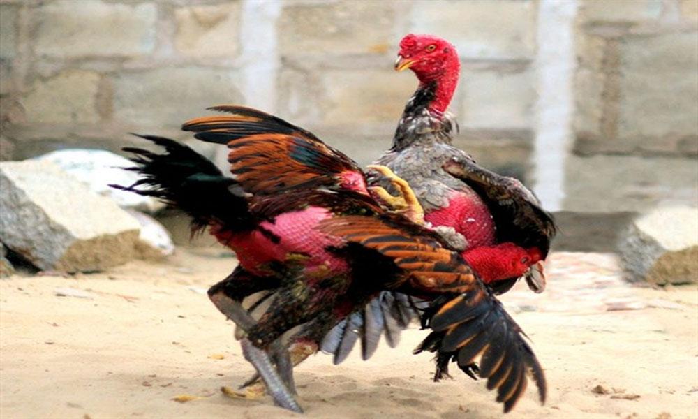 Luật đá gà miền Trung