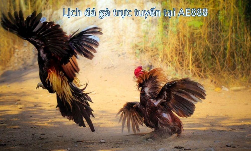 Lịch đá gà trực tuyến tại AE888